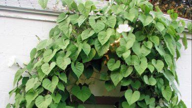 fast growing vines